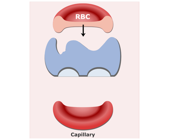 Carbonic anhydrase enzyme in RBCs animation slide 9