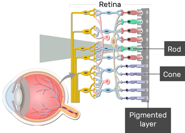 An image showing the parts of the retina and the visual pathway, the Cone, Rod, and Pigmented layer are labeled