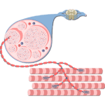Contraction Physiology   Excitation-Contraction Coupling