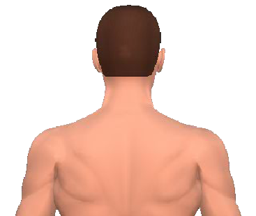 Slide 2 of the animation showing the contraleral rotation of the neck and back.