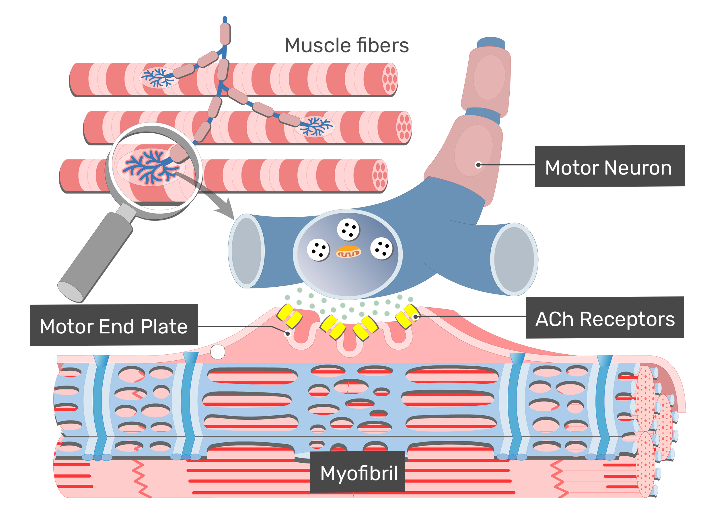 Motor end plate with labels for ACh receptor, myofibril, motor neuron and muscle fibers