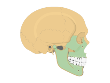 The featured image for lateral skull bone markings tutorial