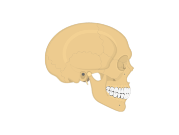 Featured image for the lateral skull bone markings