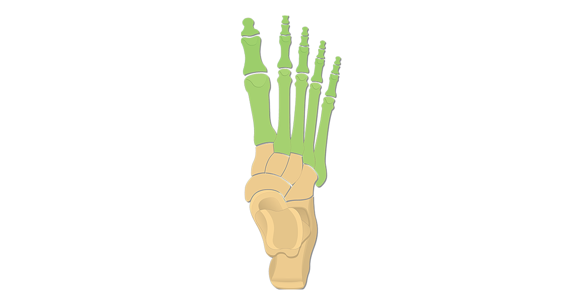 Metatarsal Bones & Phalanges: Superior View