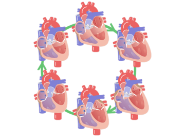 Featured image for the phases of the cardiac cycle