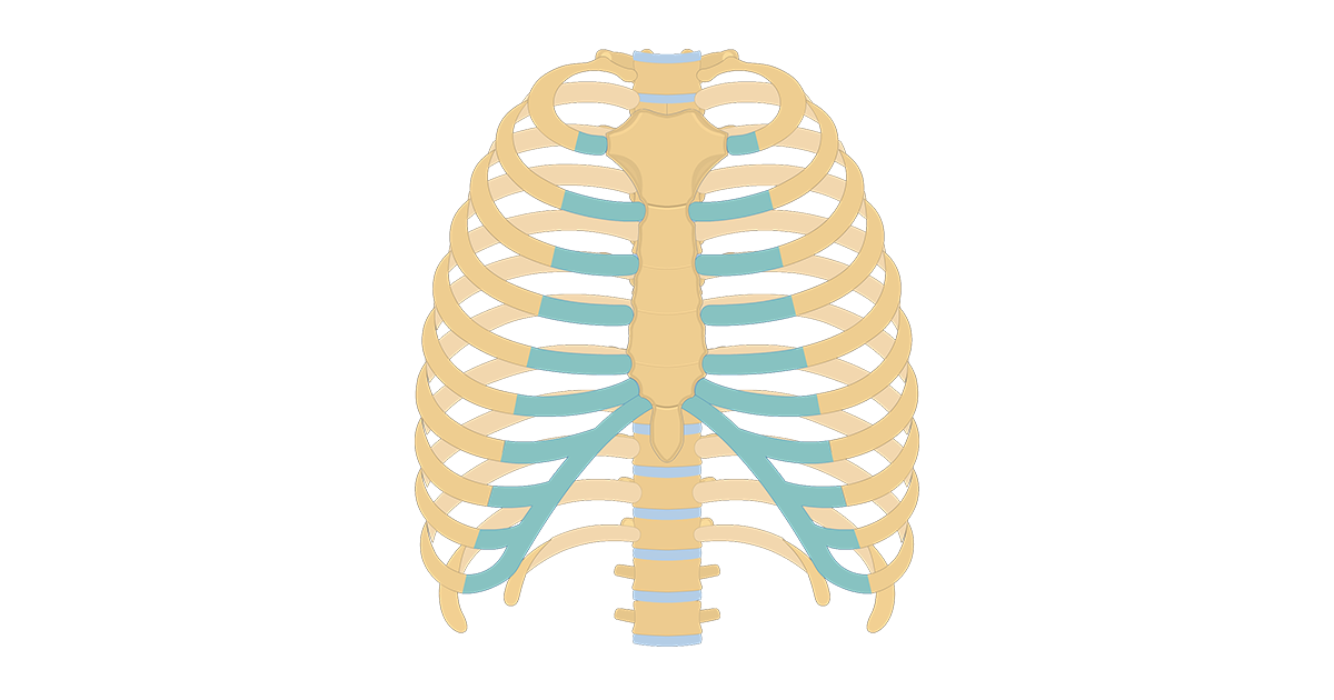 Structure of the Ribcage and Ribs