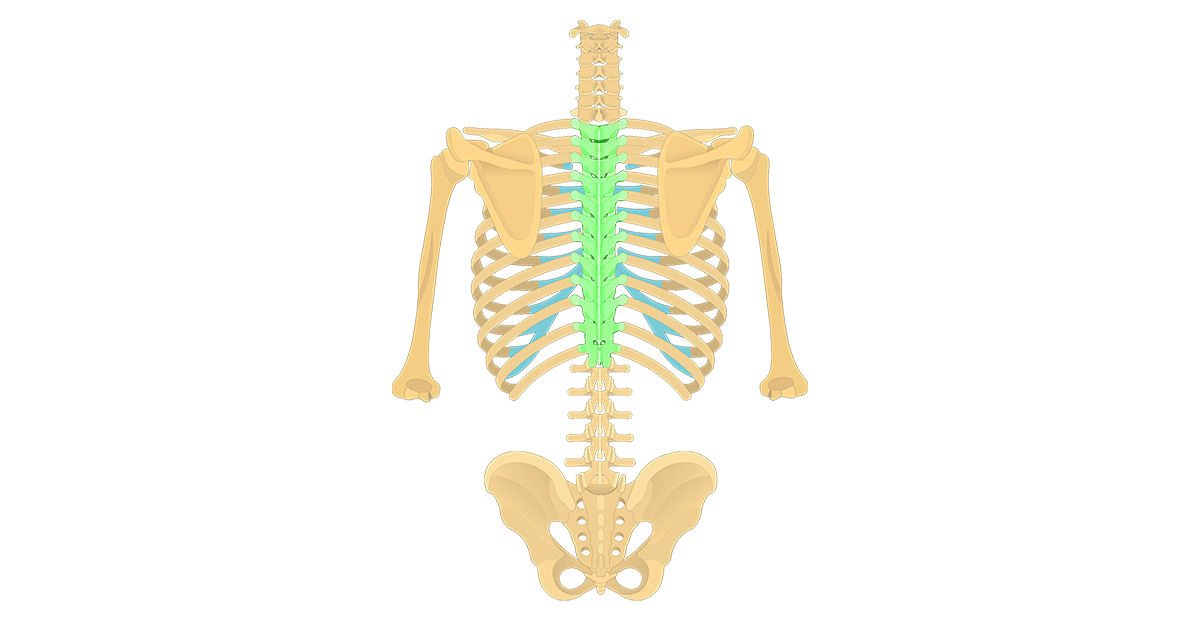 Featured image for the thoracic vertebrae