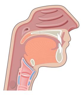 The Epiglottis of the Larynx