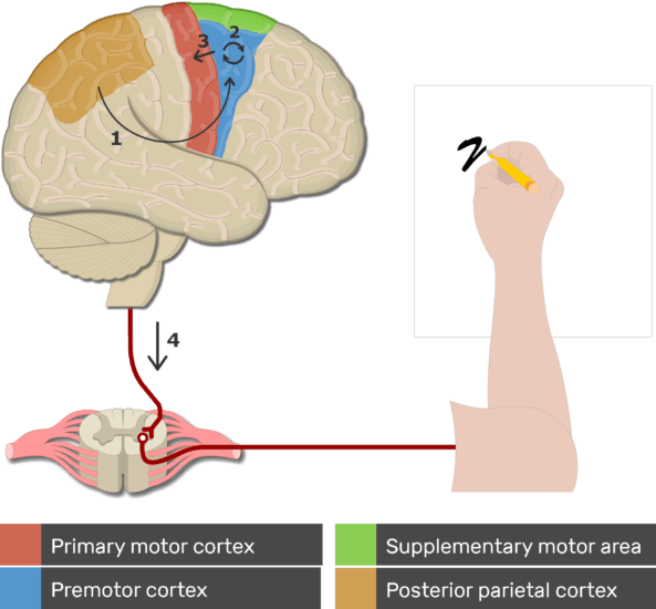 An image showing the fourth step of action production of the motor cortex area, Limb muscles receive impulses from the primary motor cortex