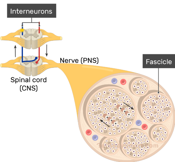 An image showing the basic structures of the neuron, the action potential moving through the axon, the interneuron and fascilce are labeled