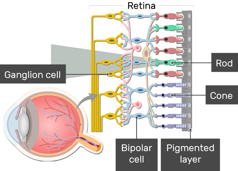 An image showing the parts of the retina and the visual pathway, the Ganglion cell, Bipolar cell, Cone, Rod, and Pigmented layer are labeled