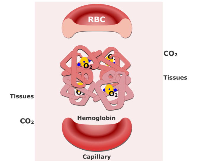Hemoglobin molecules accepting CO2 and releasing O2 animation slide 1