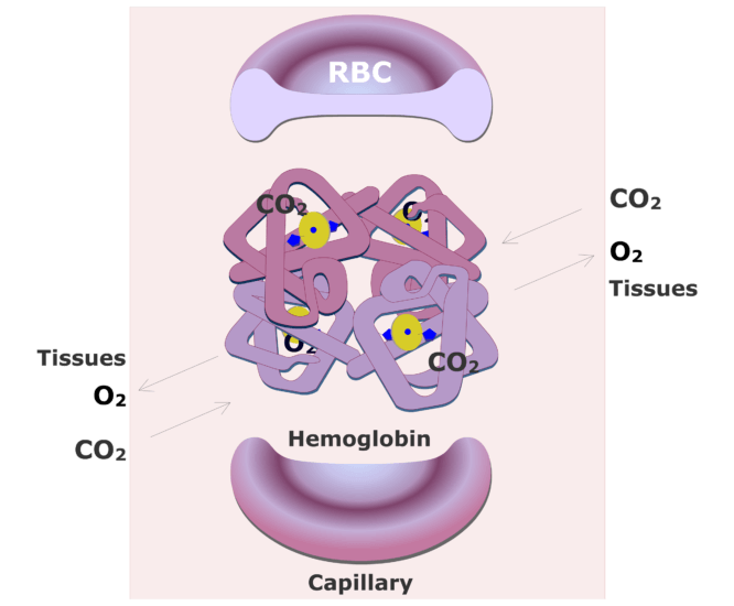Hemoglobin molecules accepting CO2 and releasing O2 animation slide 10