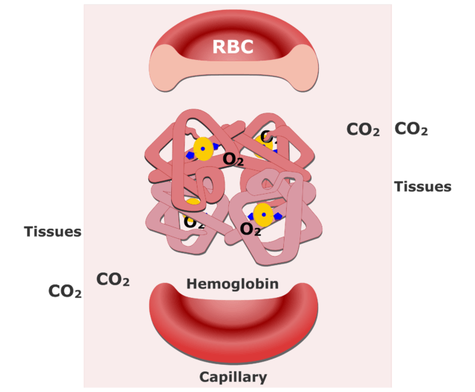 Hemoglobin molecules accepting CO2 and releasing O2 animation slide 2
