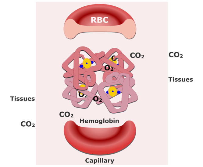 Hemoglobin molecules accepting CO2 and releasing O2 animation slide 3