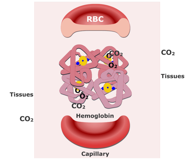 Hemoglobin molecules accepting CO2 and releasing O2 animation slide 4