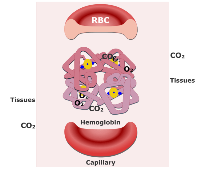 Hemoglobin molecules accepting CO2 and releasing O2 animation slide 5