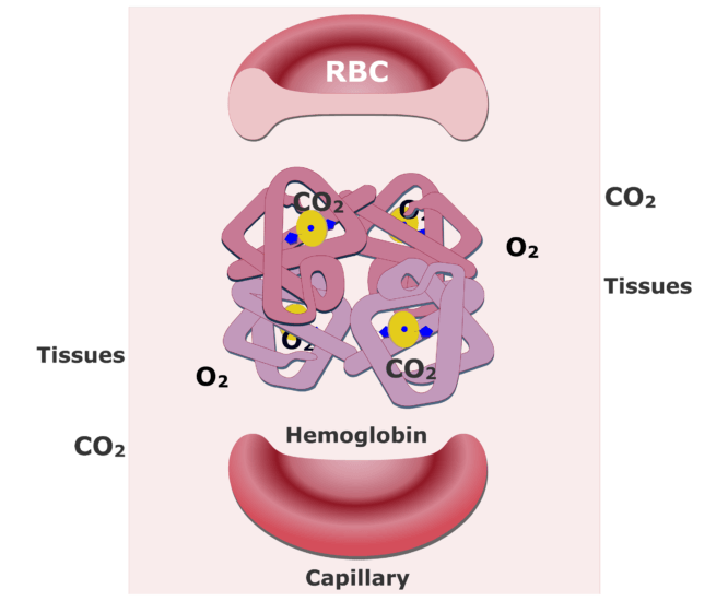 Hemoglobin molecules accepting CO2 and releasing O2 animation slide 7