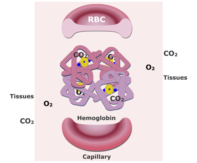 Hemoglobin molecules accepting CO2 and releasing O2 animation slide 8