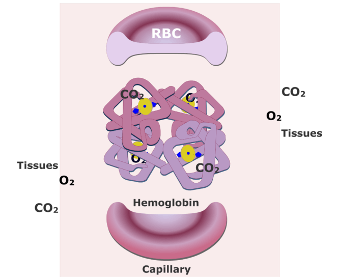 Hemoglobin molecules accepting CO2 and releasing O2 animation slide 9