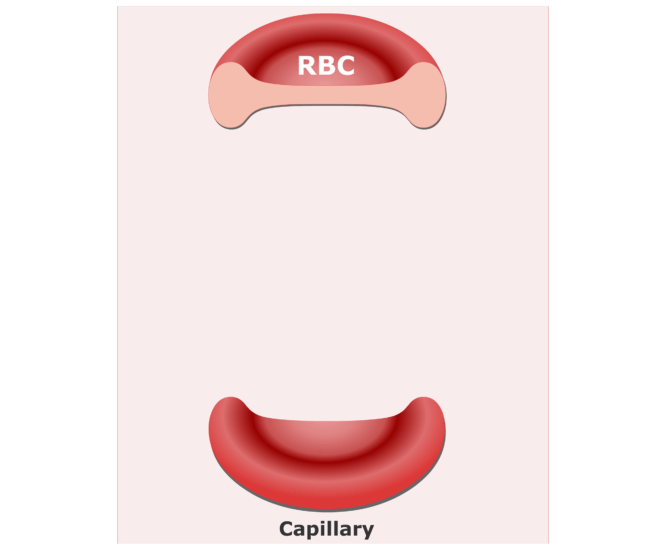 Red Blood Cells transport respiratory gases through the blood stream. Review the functions of red blood cells in this interactive tutorial.
