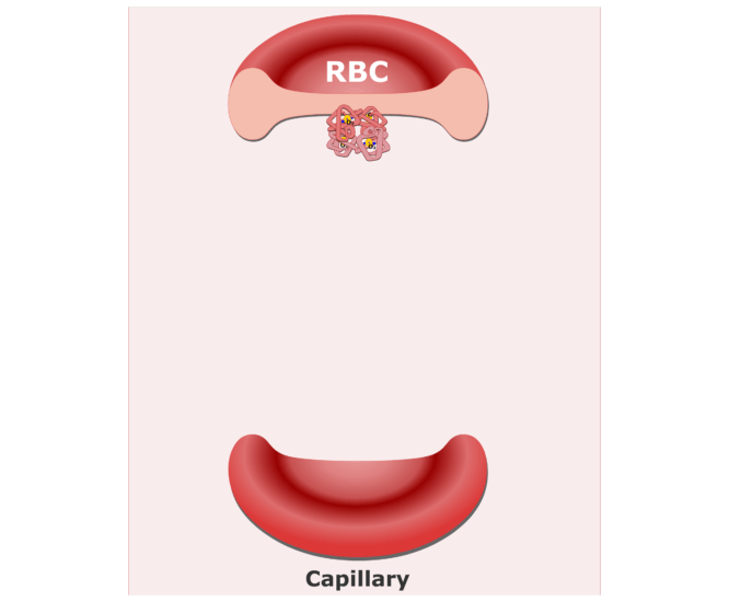 Hemoglobin molecules in an RBC animation slide 2