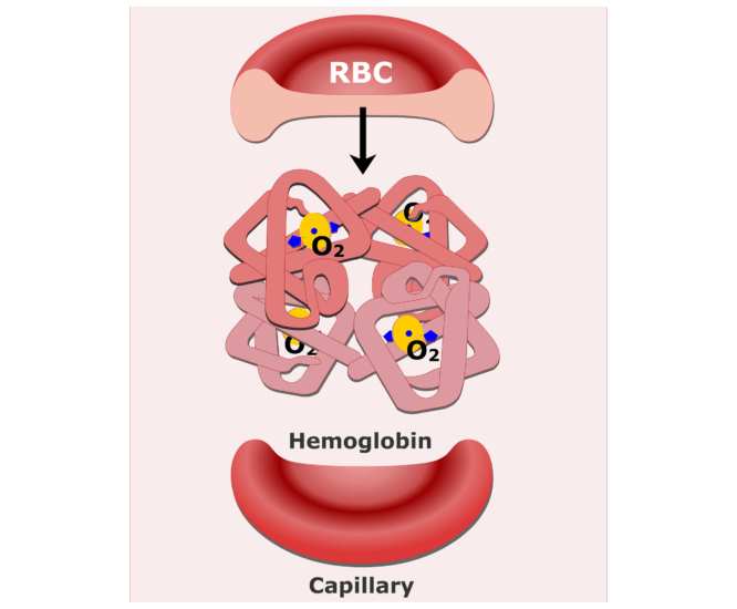 Hemoglobin molecules in an RBC animation slide 8