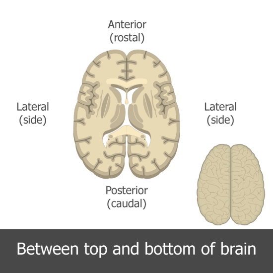 An image showing the directions of the horizontal view of the brain