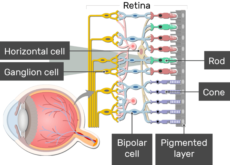 An image showing the parts of the retina and the visual pathway, the Horizontal cell, Ganglion cell, Bipolar cell, Cone, Rod, and Pigmented layer are labeled