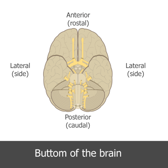 An image showing the directions of the inferior view of the brain