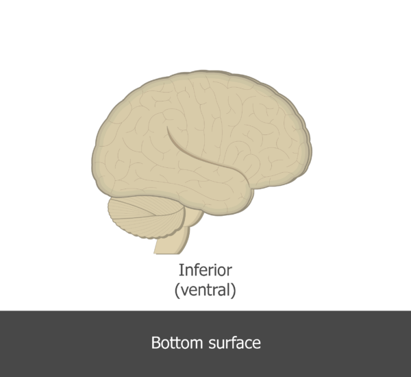 An image showing the inferior direction of the brain (lateral view)