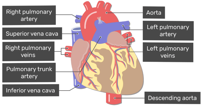 Major Blood Vessels Of The Heart