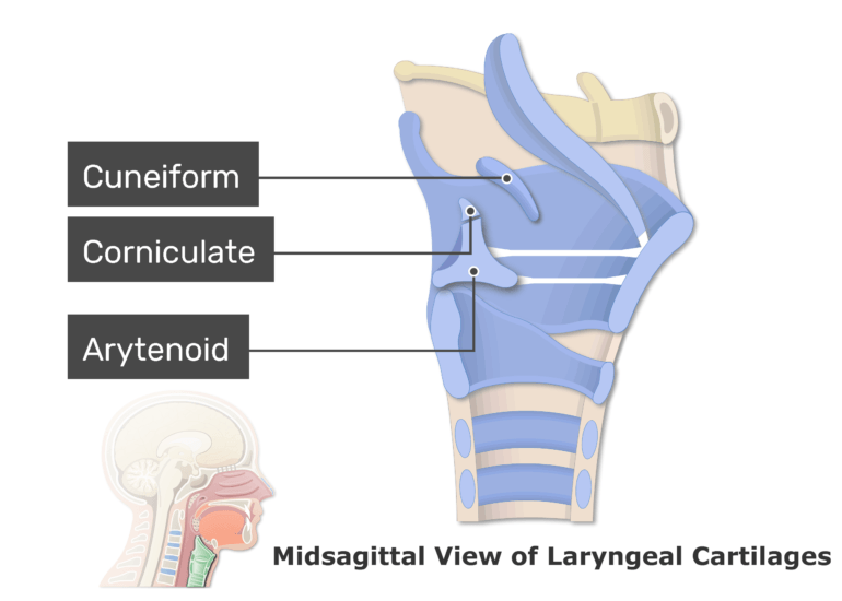 A midsagittal view of the laryngeal cartilages with labels: Cuneiform, Arytenoid, and Corniculate