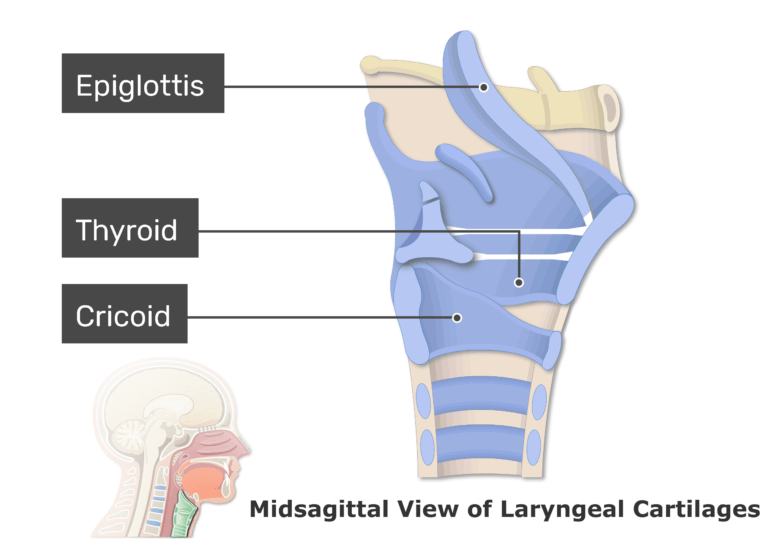 A midsagittal view of the laryngeal cartilages with labels: Epiglottis, Thyroid, Cricoid