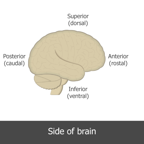 An image showing the directions of the lateral view of the brain