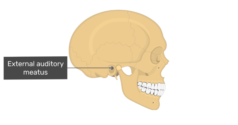 Lateral view of the external auditory meatus of the skull
