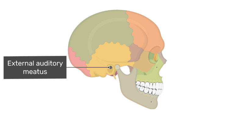Lateral view of the external auditory meatus of the skull with divisons shown