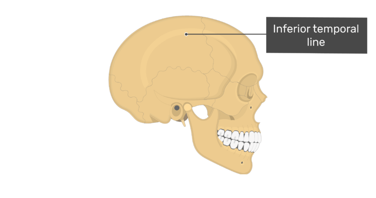 Lateral view of the inferior temporal line of the skull