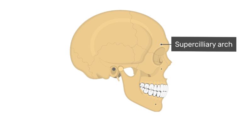 Lateral view of the supercilliary arch of the skull