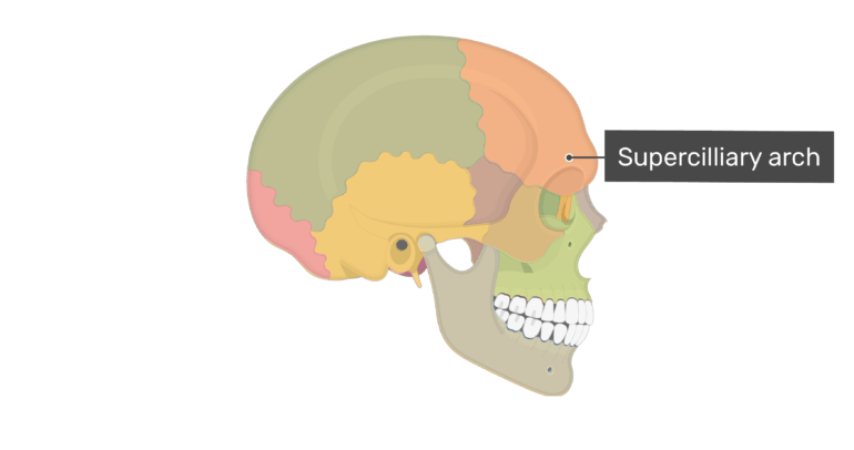 Lateral view of the supercilliary arch of the skull with divisions shown