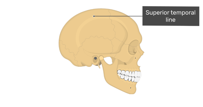 Lateral view of the superior temporal line of the skull