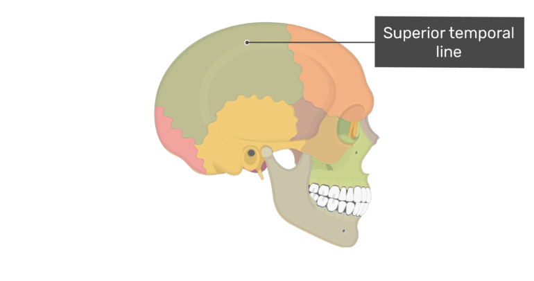Lateral view of the superior temporal line of the skull with divisions shown