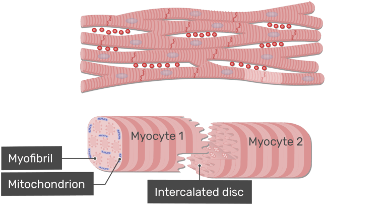 Magnified view of an intercalated disc animation slide 12