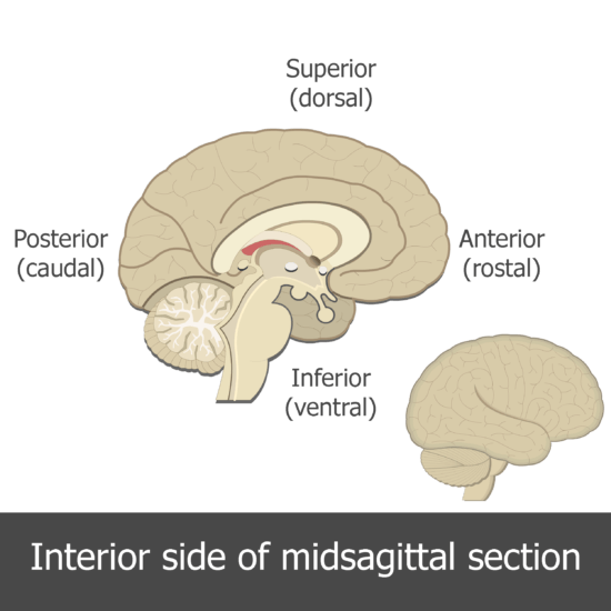 An image showing the directions of the medial view of the brain