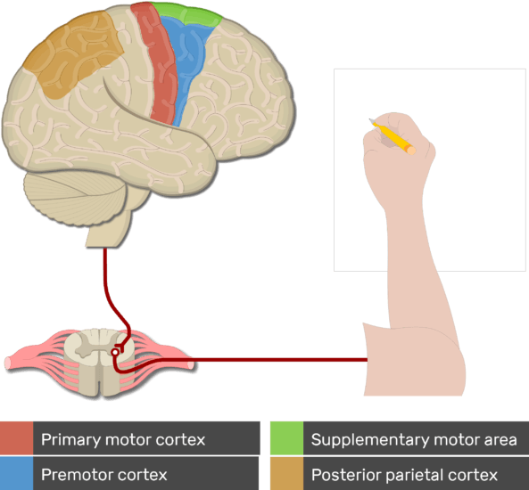 An image showing the motor cortex areas highlighted and the pathway from the cortex to the effective organ