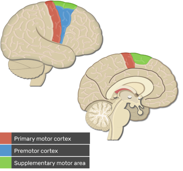 Test yourself image showing the motor cortex areas (Primary , Premotor and supplementary motor areas) all colored and labeled below