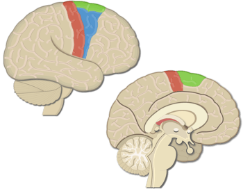 Motor Cortex Areas_2 - Featured