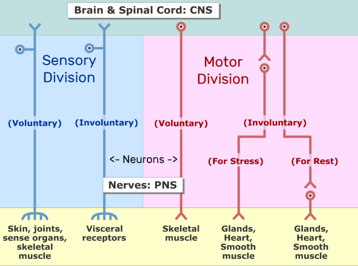 An image showing the two divisions of the nervous system (Sensory and motor) and the subdivisions (voluntary and involuntary) sections, the Motor and sensory divisions are labeled