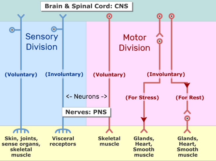 An image showing the motor impulses moving from CNS to effective organs through neurons axon