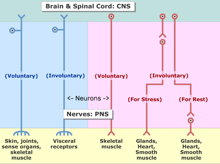 An image showing the two divisions of the nervous system (Sensory and motor) and the subdivisions (voluntary and involuntary) sections, the Neurons are labled